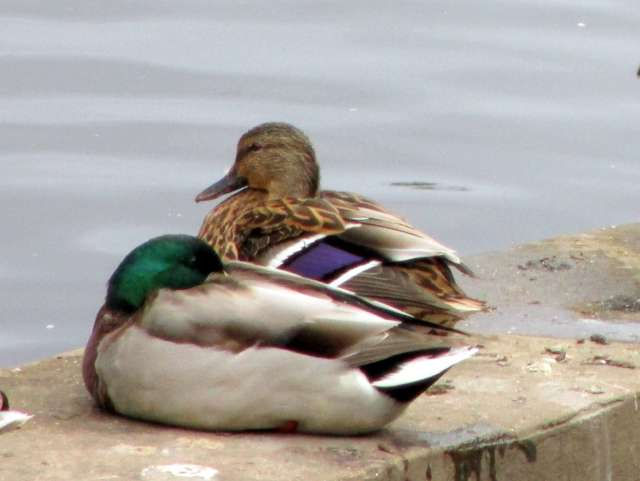ducks-mallards-IMG_4523.JPG