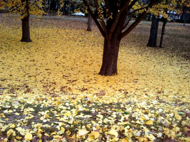 ginkgo-leaves-on-the-ground-2011-11-06.jpg