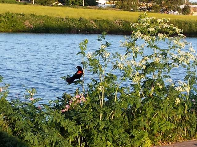 red-winged-blackbird-01-20140602_194604.jpg