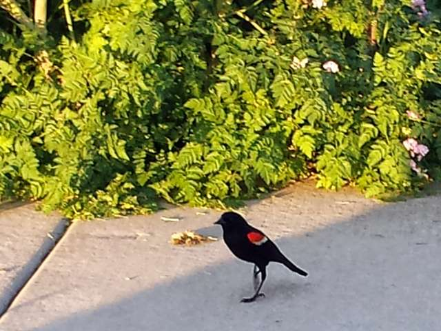 red-winged-blackbird-03-20140602_194615.jpg