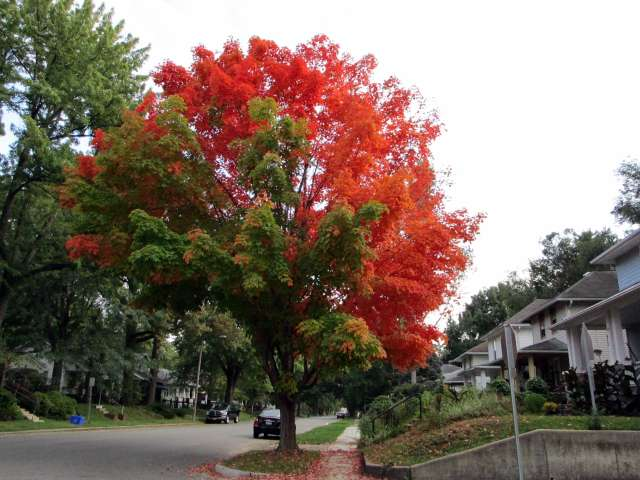 tree-red-green-IMG_0665.JPG